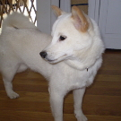 picture of Kipper the Shiba Inu